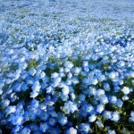 Hitachi Seaside Park 12