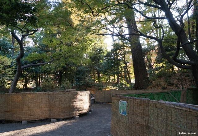 Koishikawa Korakuen - construction near ginkgo trees