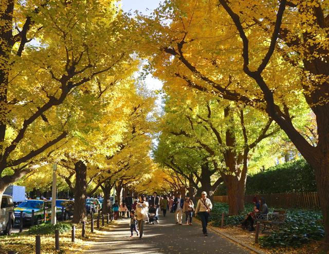 Meiji-jingu Gaien Ginkgo Ave golden foliage