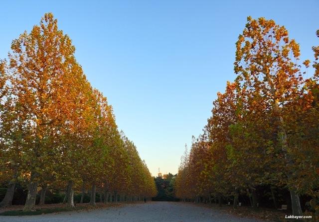 Shinjuku Gyoen - Sycamore trees