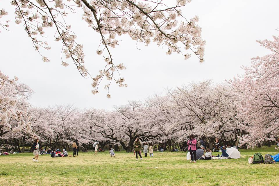 People picnicking and having fun around the clusters of cherry trees.