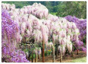 Ashikaga Wisteria Story  (www.ashikaga.co.jp)