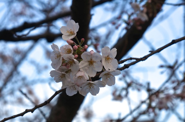 There is a wide variety of cherry blossom in Japan and over 200 kinds were cultivated over the years. The most popular type is the Somei Yoshino whose ...