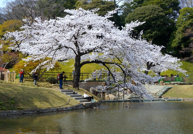 Korakuen - Cherry Trees 03