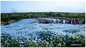 Nemophila in Hitachi Seaside Park