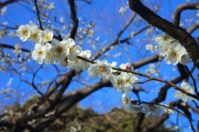 Spring the season of flowers lakbayer plum blossom mightylinksfo