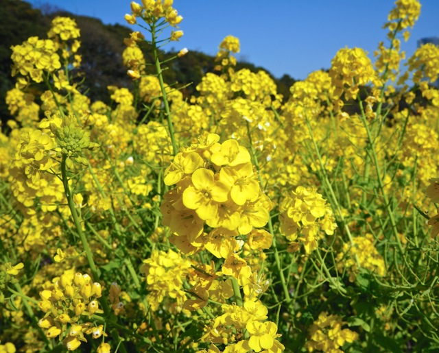 Spring the season of flowers lakbayer a bright yellow flower with four rounded and elongated petals and many seeds these seeds which are known as rapeseeds which yields rapeseed oil or commonly mightylinksfo