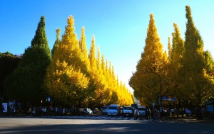 Meiji-jingu Ginkgo Avenue - 01
