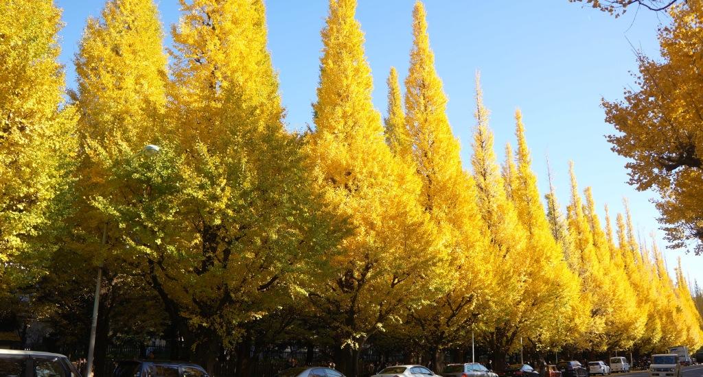 Meiji-jingu Ginkgo Avenue - 02