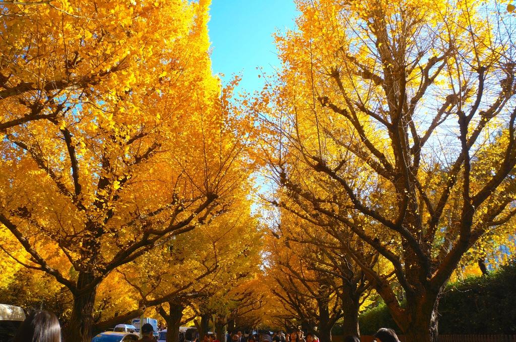 Meiji-jingu Ginkgo Avenue - 03