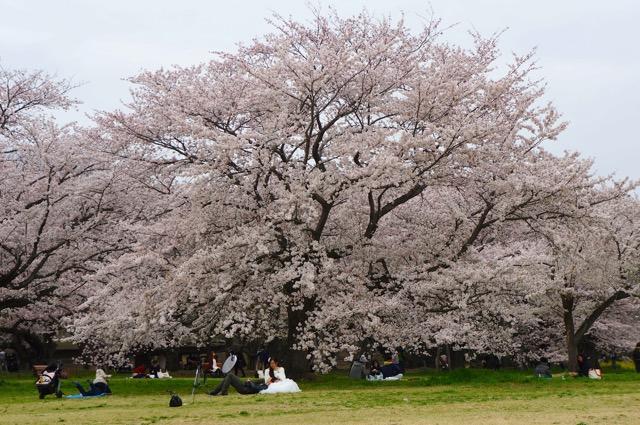 Showakinen Sakura 2015-02