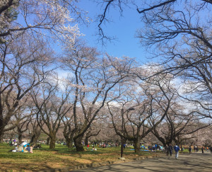 Sakura-2016_Koganei_Park_05