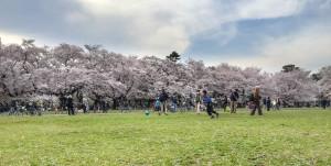 Sakura-2016_Koganei_Park_08