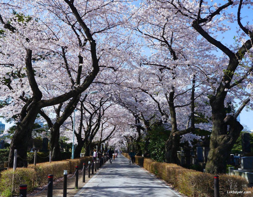 sakura-2015-aoyama-cemetery01
