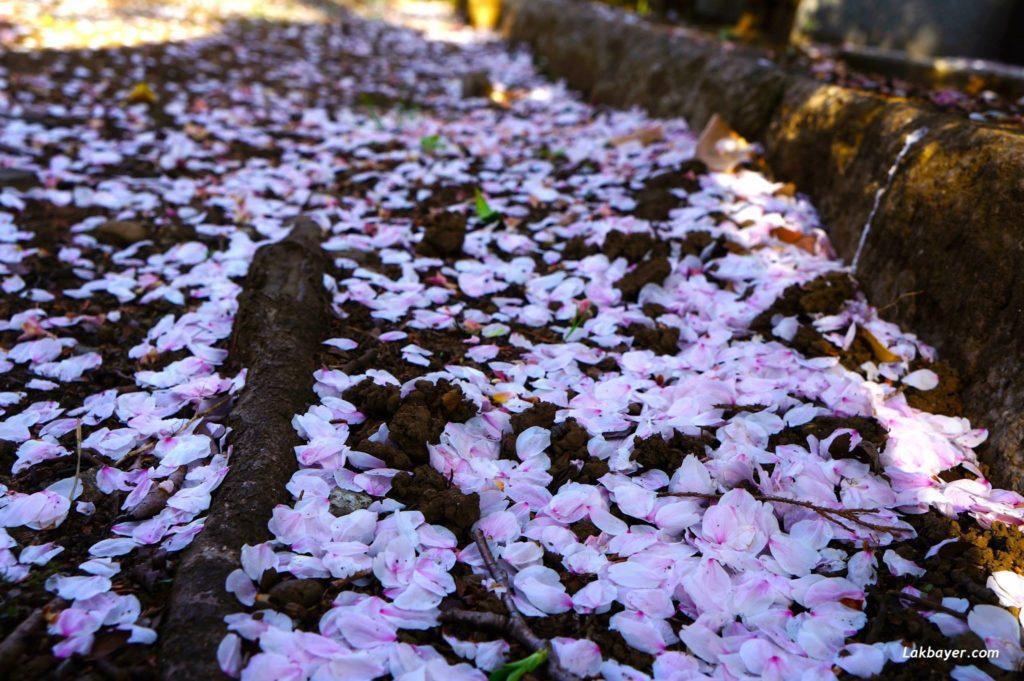 sakura-2015-aoyama-cemetery03