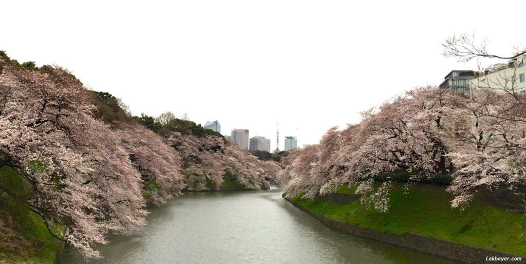 sakura-2015-chidorigafuchi01