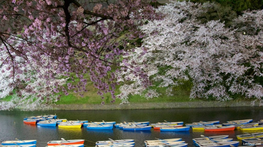 sakura-2015-chidorigafuchi02