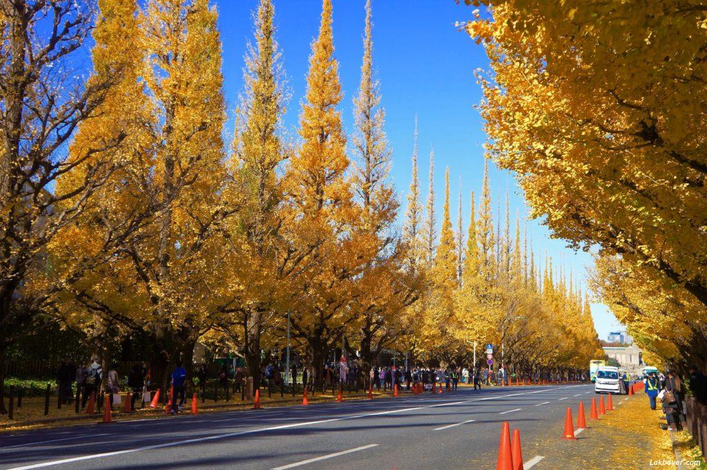 autumn2016-aoyama-ginkgo-ave01