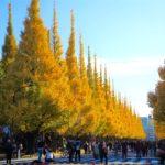 autumn2016-aoyama-ginkgo-ave06